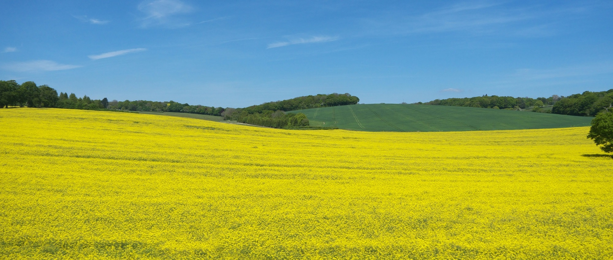 Mustard flowers, Berkhamsted